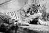4555 Shy Tiger