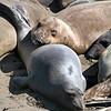 Elephant Seal Rookery