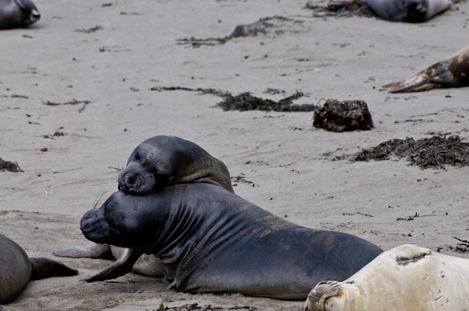 Young male Elephant Seals Sparring for Dominance.