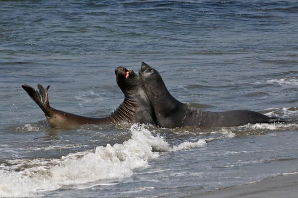 Young male Elephant Seals Sparring for Dominance
