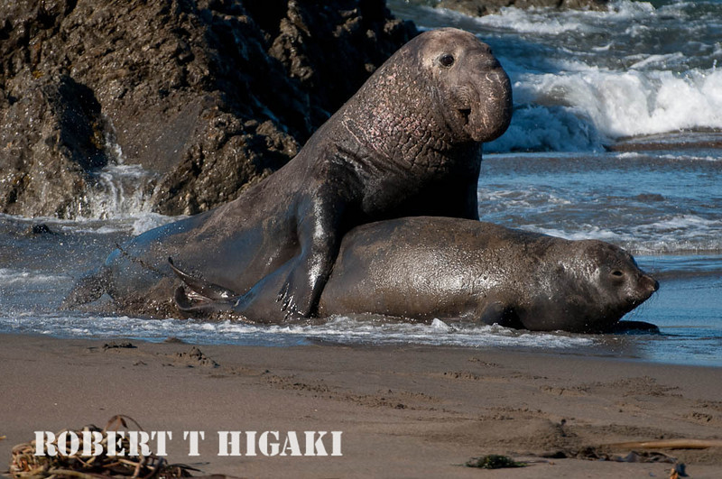 elephant seal- sorry- this is x-rated- yes- they are having sex on the beach.