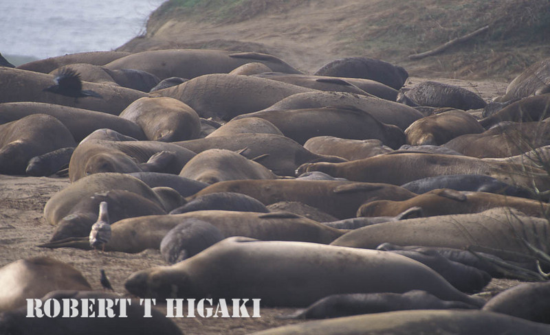 Northern elephant seals- Ano Nueno State Park
