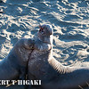 Elephant seals-Northern( Mirounga angustirostris) : There are two places to observe the northern elephants here in California: Ano Nuevo north of Santa Cruz and Piedras Blancas near San Simeon. In terms of ease of access, Piedras Blancas is the spot to go.