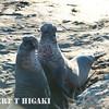 elephant seal-22