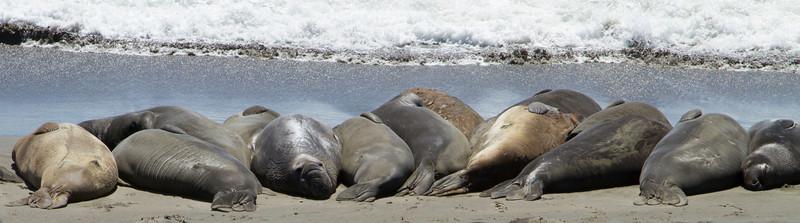 Las Piedras Blancas-elephant seals rumbling at sunset