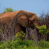 Elephants-8424a