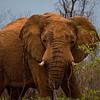 Elephants-8470a