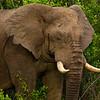 Elephants-8380a
