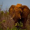 Elephants-8437a