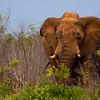 Elephants-8442a