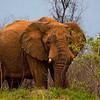 Elephants-8467x