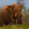 Elephants-8474a