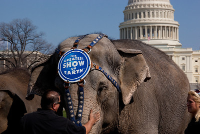 One of the Ringling Bros. and Barnum & Bailey Circus famous elephants stand before the US Capitol to kick off the showing of BARNUM 200SM, a 200-year anniversary show. The pachyderm parade took place in Washington DC on March 22, 2011.  (Photo by Jeff Malet)