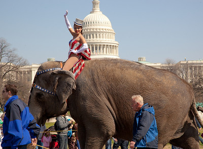 Gleice DeSouza waves as she rides atop the lead elephant during the Ringling Bros. and Barnum & Bailey annual pachyderm parade. The famous elephants march in front of the US Capitol to kick off their showing of BARNUM 200SM, a 200-year anniversary show. The parade took place in Washington DC on March 22, 2011.  (Photo by Jeff Malet)