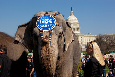 One of the Ringling Bros. and Barnum & Bailey Circus famous elephants stands before the US Capitol to kick off the showing of BARNUM 200SM, a 200-year anniversary show. The pachyderm parade took place in Washington DC on March 22, 2011. (Photo by Jeff Malet)