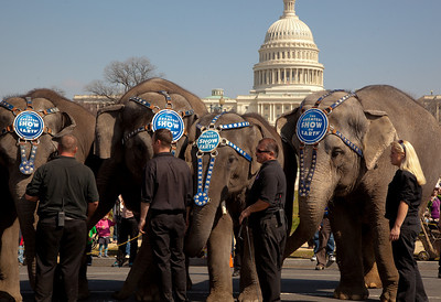 The Ringling Bros. and Barnum & Bailey Circus famous elephants stand before the US Capitol to kick off their showing of BARNUM 200SM, a 200-year anniversary show. The pachyderm parade took place in Washington DC on March 22, 2011.  (Photo by Jeff Malet)