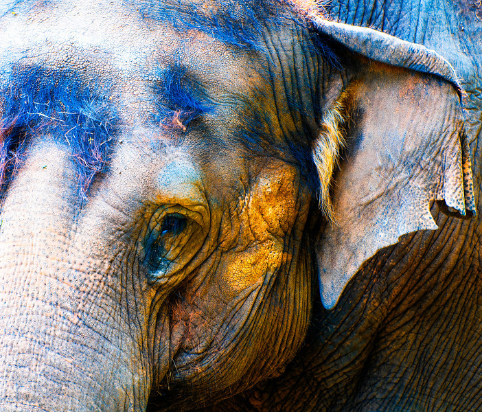 Asian Elephan