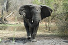 Irate elephant about to charge