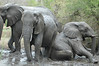 Mudbath - elephants having fun!