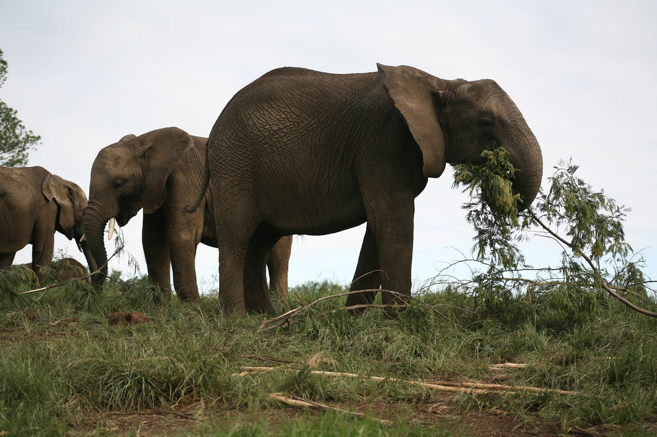 African elephant at the Elephant Sanctuary, Nature's Valley, South Africa
