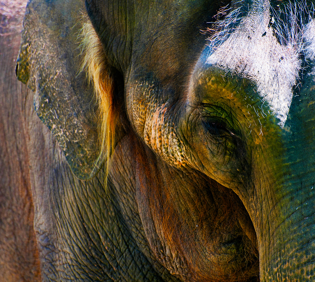 Asian Elephant, 'Chai'