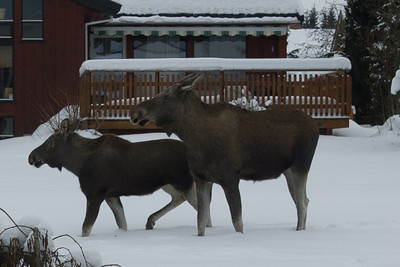 Close-up of the moose betwen our house and the neighbor's.