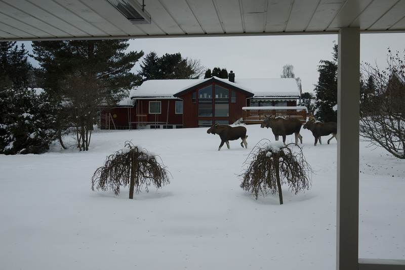 Minding my own business in the kitchen and suddenly I see some movement on our snow covered lawn. Moose! Not one, but three! Cool! Known to happen a lot in more rural areas, but not that much in a residential area like this.
