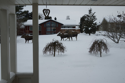 Moose family trip (mother + two youngsters?) through some residential areas to find delicious food such as apple trees.