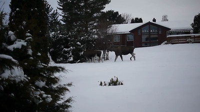 Video of the three moose paying a visit in our back yard. I had only a fixed lens available at the time, so no zoom capabilities.