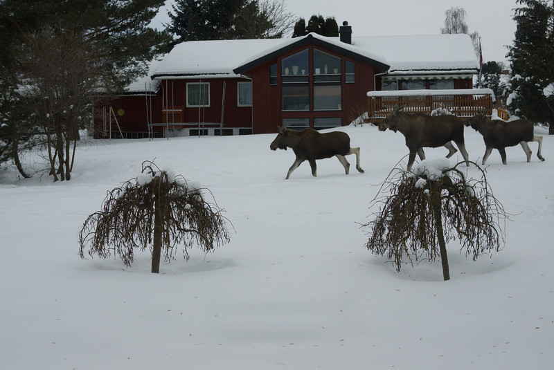 Elgsafari i hagen... Here we go, moose!