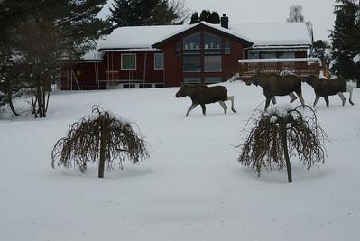 Elgsafari i hagen... Here we go, moose!