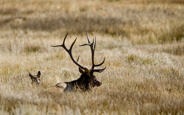A large bull elk rests with a cow in Moraine Park in Rocky Mountain National Park near Estes Park, Colorado September 29, 2009. CAMERA/Mark Leffingwell (UNITED STATES)