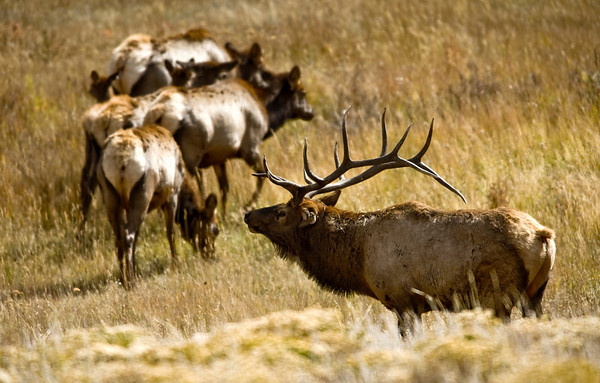 A large bull elk herd his harem of cows back toward the tree line in Upper Beaver Meadow in Rocky Mountain National Park near Estes Park, Colorado September 29, 2009. CAMERA/Mark Leffingwell (UNITED STATES)