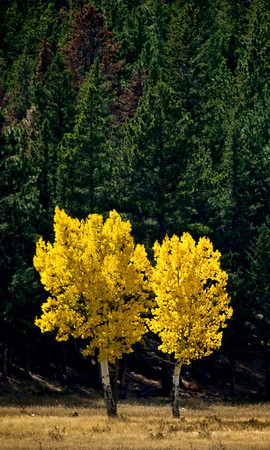 Aspens in full color in Rocky Mountain National Park near Estes Park, Colorado September 29, 2009. CAMERA/Mark Leffingwell (UNITED STATES)