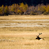A large bull elk rests in Moraine Park in Rocky Mountain National Park near Estes Park, Colorado September 29, 2009. CAMERA/Mark Leffingwell (UNITED STATES)