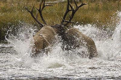 Elk Critters