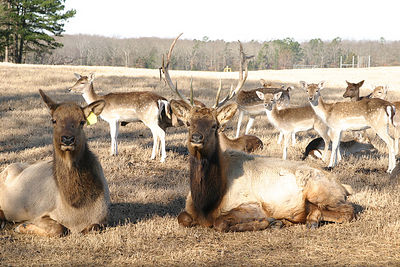 Taken with my Tamron 28-75 f/2.8 Lens. Elk in the front, with Fallon Deer in the rear. Haha!