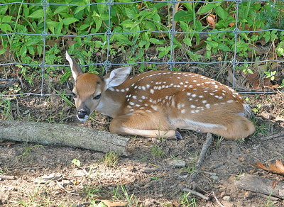 3 day old Whitetail Deer. Taken 3 June, 2006. Ain't it cute? Haha!