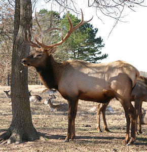 Taken with my Tamron 28-75 f/2.8 Lens. This is the Big Bull Elk here on the Ranch. He's the King Bull! LOL!