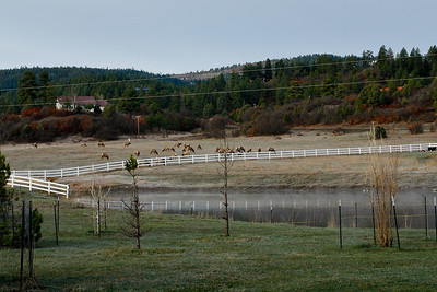 Elk in Pagosa
