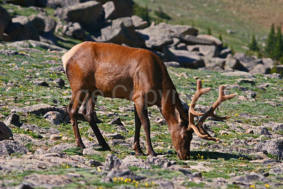 Elk grazing in Rocky Mtn National Park - 8/10/10