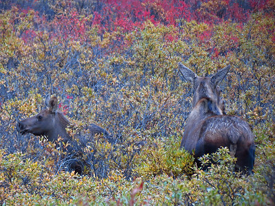 Cow moose and calf - 9/1/12