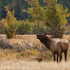 Rocky Mountain Elk : Colorado provides a great venue for photographing elk..in all seasons.