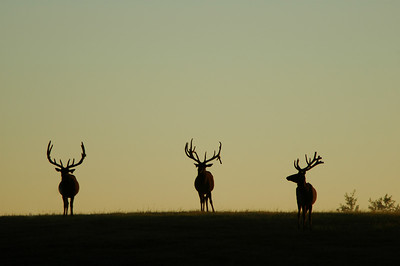 Wapiti elk in the rockies at dusk dawn sunrise sunset silhouette Rocky Mountain landscape mountains scenic landscape - Photograph by professional nature stock photographer Christina Craft