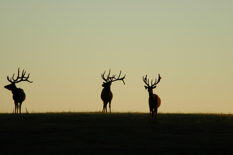 Three elk - at sunrise or sunset dusk or dawn silhouette Rocky Mountain landscape mountains scenic landscape - Photograph by professional nature stock photographer Christina Craft