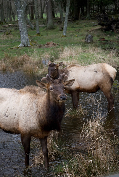 Roosevelt Elk - These elk are found along the pacific northwest including Vancouver Island<br /> Wildlife photography - Pictures of Animals - by professional wildlife photographer Christina Craft