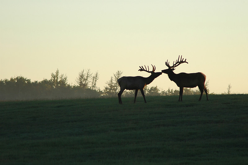 Two elk touching noses at sunrise