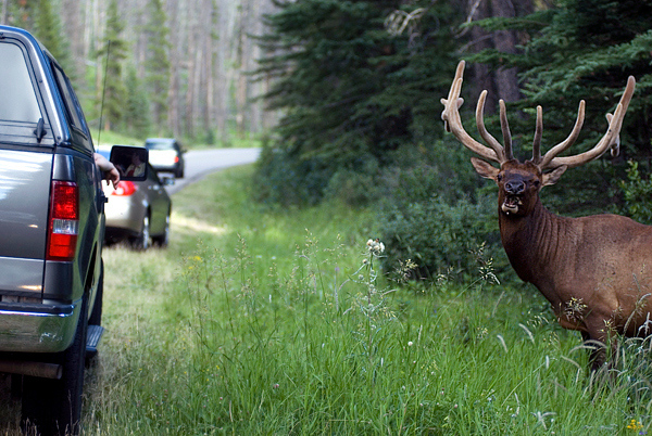 An elk attracts traffic