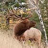 MEK-11188: Bugling Bull