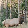 MEK-11165: Deep woods Bull